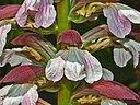 Acanthaceae   Acanthus mollis 4