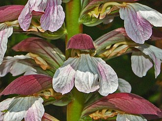 Acanthus mollis - Close-up on a flower of Acanthus mollis