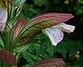 Acanthus balcanicus 03.jpg