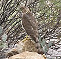 Accipiter cooperii-Tucson -Arizona -USA-8.jpg
