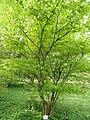 Acer carpinifolium - Botanischer Garten München-Nymphenburg - DSC07564.JPG