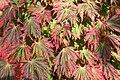 Acer japonicum 'Aconitifolium' JPG1c.jpg