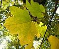 Acer obtusatum (40).JPG