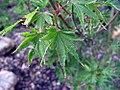 Acer palmatum Okushimo 1zz.jpg