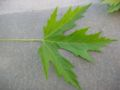 Acer saccharinum blatt oberseite.jpeg