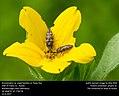 Acmaeodera sp. jewel beetles on Texas Star Daisy (32779244323).jpg