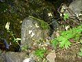 Aconitum umbrosum Борец теневой.JPG