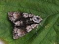 Acronicta alni - Alder moth - Стрельчатка ольховая (27181562288).jpg