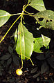 Acronychia pedunculata 09.JPG
