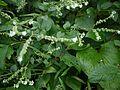 Adelocaryum coelestinum (Lindl.) Brand (6258067496).jpg