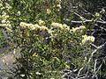 Adenostoma sparsifolium (27791623636).jpg
