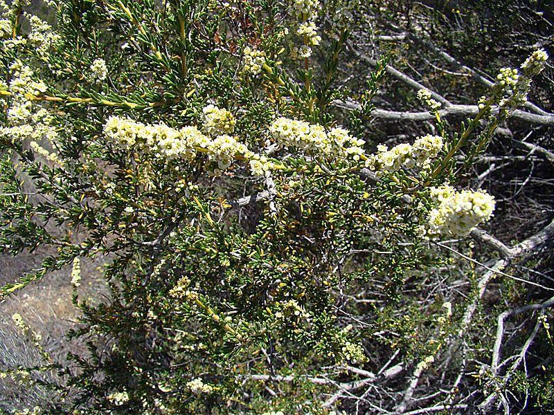 File:Adenostoma sparsifolium (27791623636).jpg