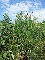 Adonis aestivalis + Fumaria officinalis + Consolida regalis sl1.jpg