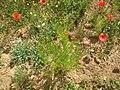 Adonis aestivalis plant (01).jpg