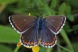 Adonis blue (Polyommatus bellargus) female.jpg