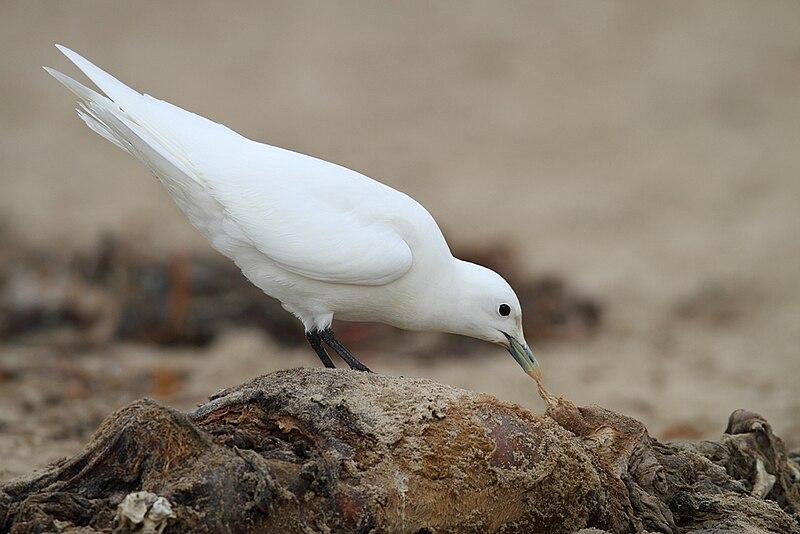 Adult Ivory Gull (Pagophila eburnea).jpg