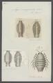 Aega emarginata - - Print - Iconographia Zoologica - Special Collections University of Amsterdam - UBAINV0274 098 11 0003.tif