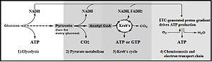 Glycolysis - Summary of aerobic respiration
