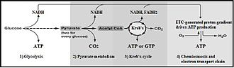 Glycolysis - Summary of aerobic respiration