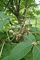 Aesculus glabra kz02.jpg