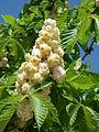 Aesculus hipp Baummannii 5.JPG