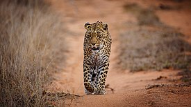 African Leopard Sabi Sands Fir0002 Oct18.jpg