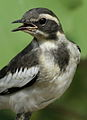 African Pied Wagtail, Motacilla aguimp in Kruger National Park (13850266413).jpg