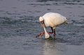 African Spoonbill, Platalea alba at Borakalalo National Park, South Africa (9856903266).jpg
