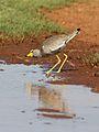 African Wattled Lapwing or Senegal Wattled Plover, Vanellus senegallus at Krugersdorp Game Reserve, Gauteng, South Africa (30736362764).jpg
