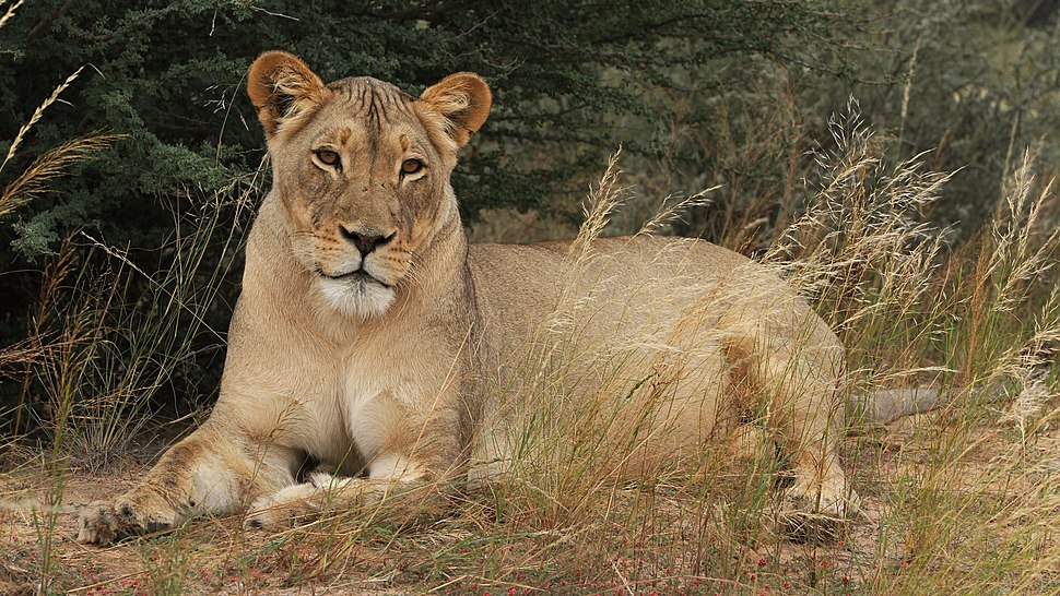 African lion, Panthera leo at Kgalagadi Transfrontier Park, Northern Cape, South Africa (34637890821)