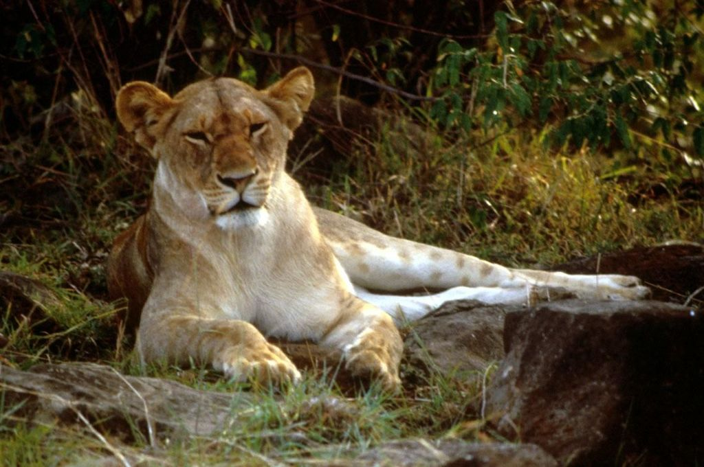 African lion female.jpg