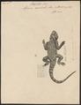 Agama aculeata - 1700-1880 - Print - Iconographia Zoologica - Special Collections University of Amsterdam - UBA01 IZ12700103.tif