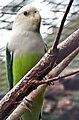 Agapornis cana -Beale Park -Berkshire-6a.jpg