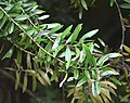 Agathis australis in Auckland Botanic Gardens 02.jpg