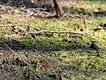 Aglais io in the Teufelsbruch swamp 03.jpg