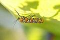 Ailanthus Webworm Moth (Atteva aurea) (14713809493).jpg