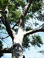 Ailanthus triphysa RBG Sydney.JPG