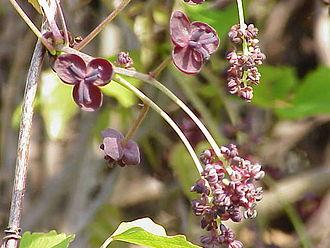 Akebia - Image: Akebia trifoliata 1