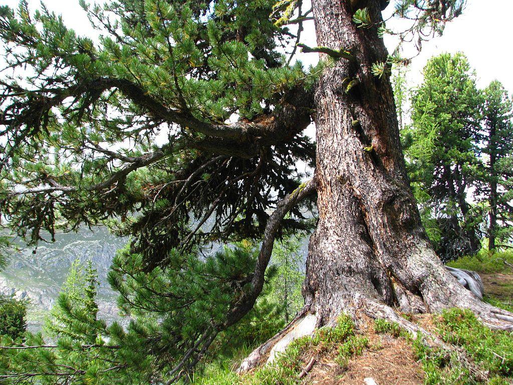 Borovica limbová - kmeň