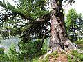 Aletschwald dicke Arve 3+.jpg
