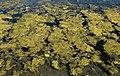 Algae in Arosa.jpg