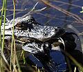 Alligator with prey at Viera Wetlands - Flickr - Andrea Westmoreland.jpg