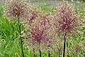 Allium Globemaster RBG.JPG