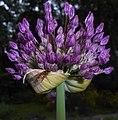 Allium aflatunense 2016-05-17 0728.jpg