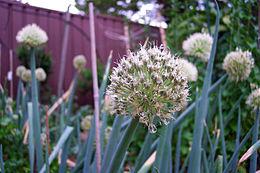 Allium ascalonicum flower