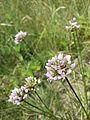 Allium lusitanicum sl4.jpg