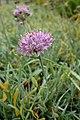 Allium senescens subsp glaucum kz2.jpg