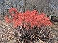 Aloe chabaudii (4375649130).jpg