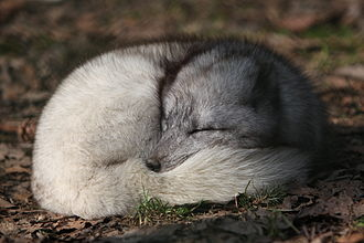 Arctic fox - A sleeping Arctic fox with its tail wrapped around itself