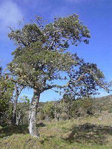 Alphitonia Ponderosa Wikipedia